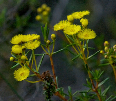 Yellow Featherflower (Verticordia chrysantha)