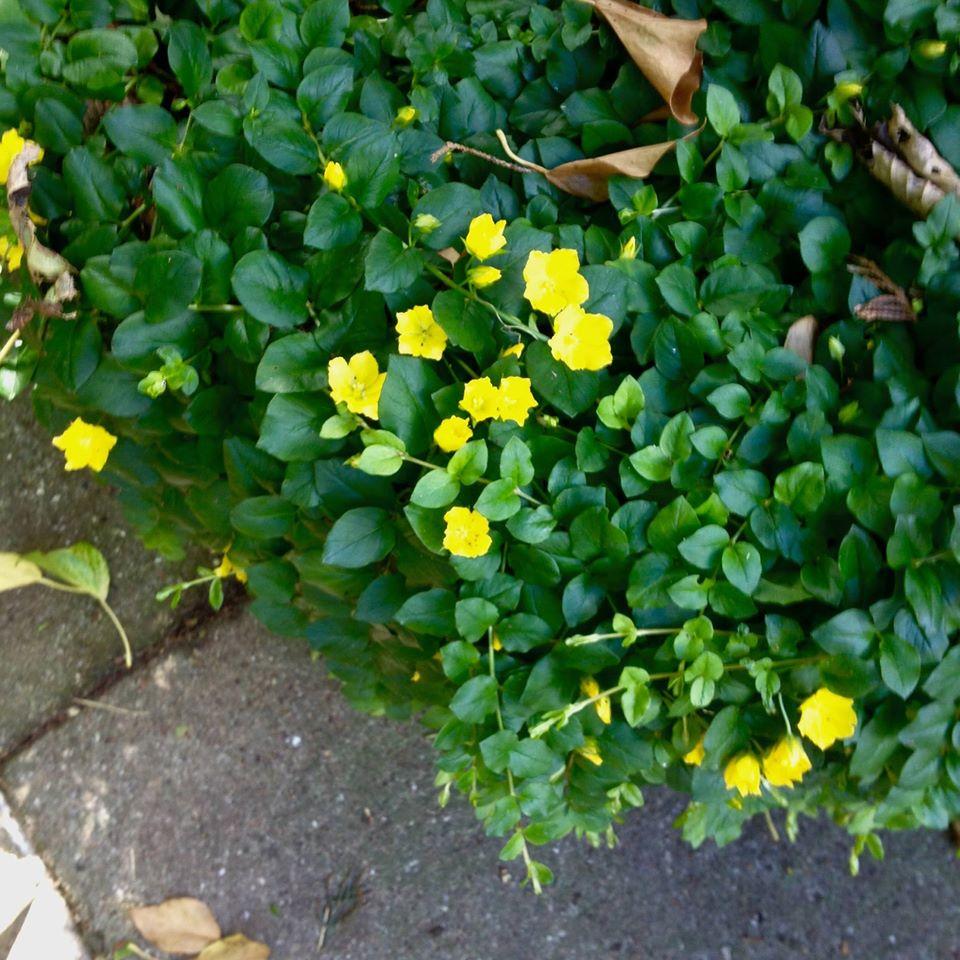 bunddække med gule blomster