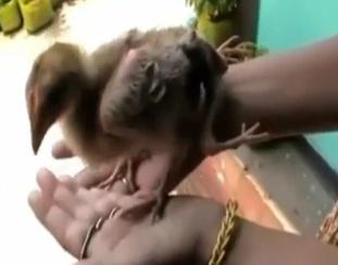 pollo de cuatro patas en la india 2012