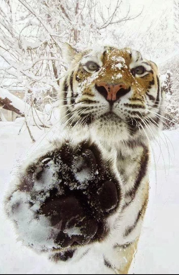 Funny animals of the week - 13 December 2013 (40 pics), tiger in snowy day