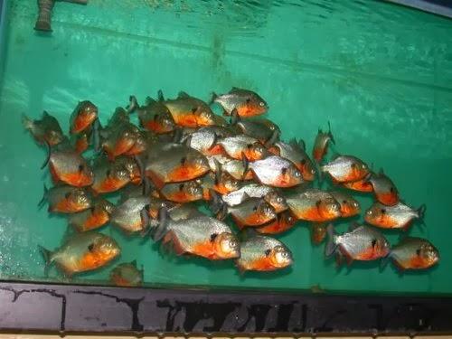 Piranhalarda su kimyası nasıl olmalıdır?