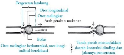 Gerak peristaltik pada kerongkongan