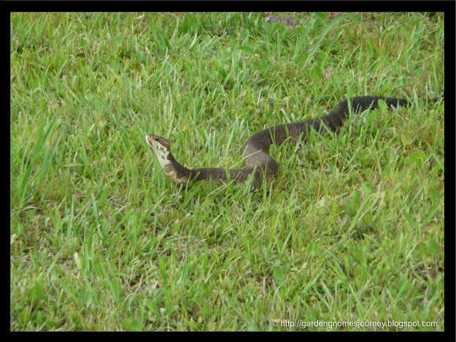 cottonmouth snake at our vacation home resort
