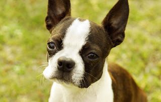 Boston Terrier Secrets - Raising and Training Boston Terrier Guide