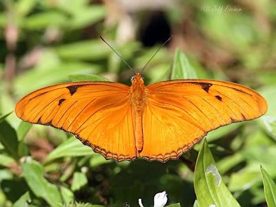Julia Butterfly