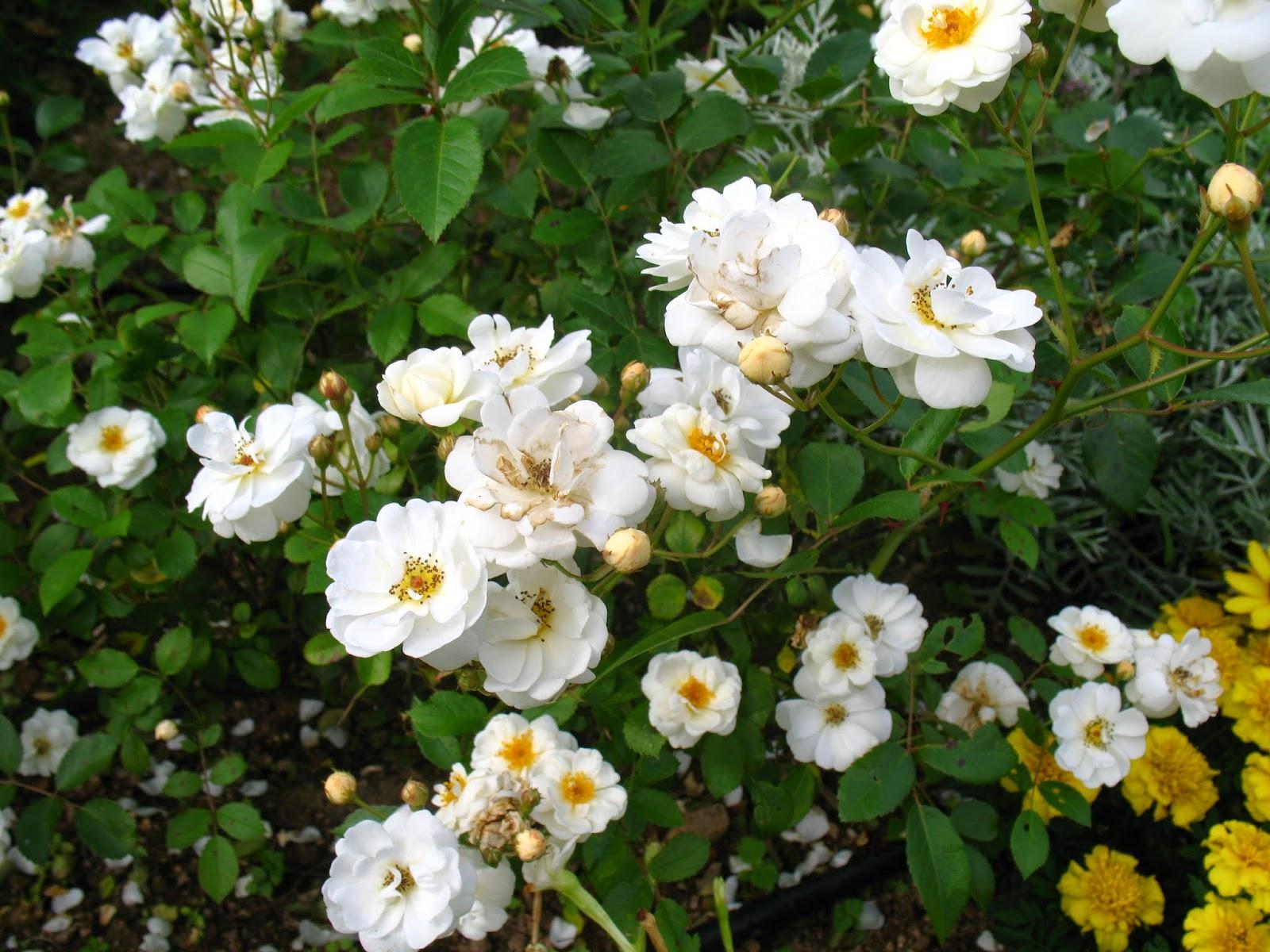 roses du jardin ch neland rosier bouquet blanc. Black Bedroom Furniture Sets. Home Design Ideas