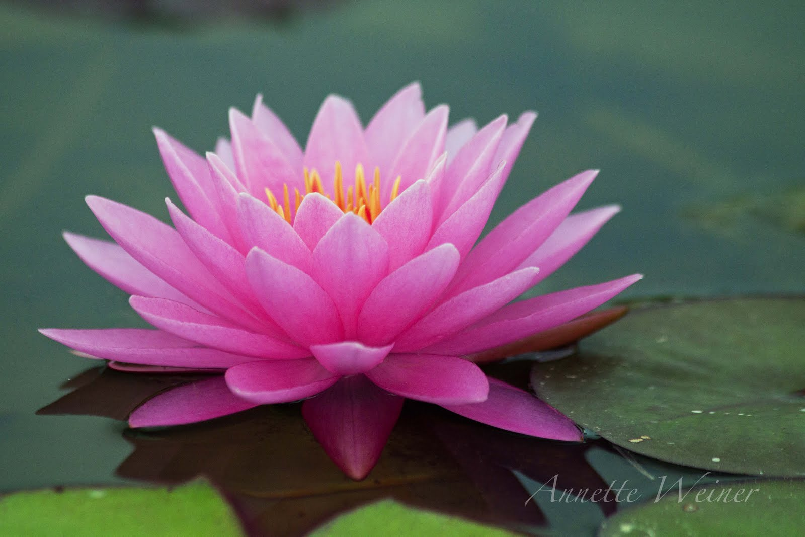 water lilies Find and save ideas about water lilies on pinterest   see more ideas about lotus flowers, lilly flower and lily pond.