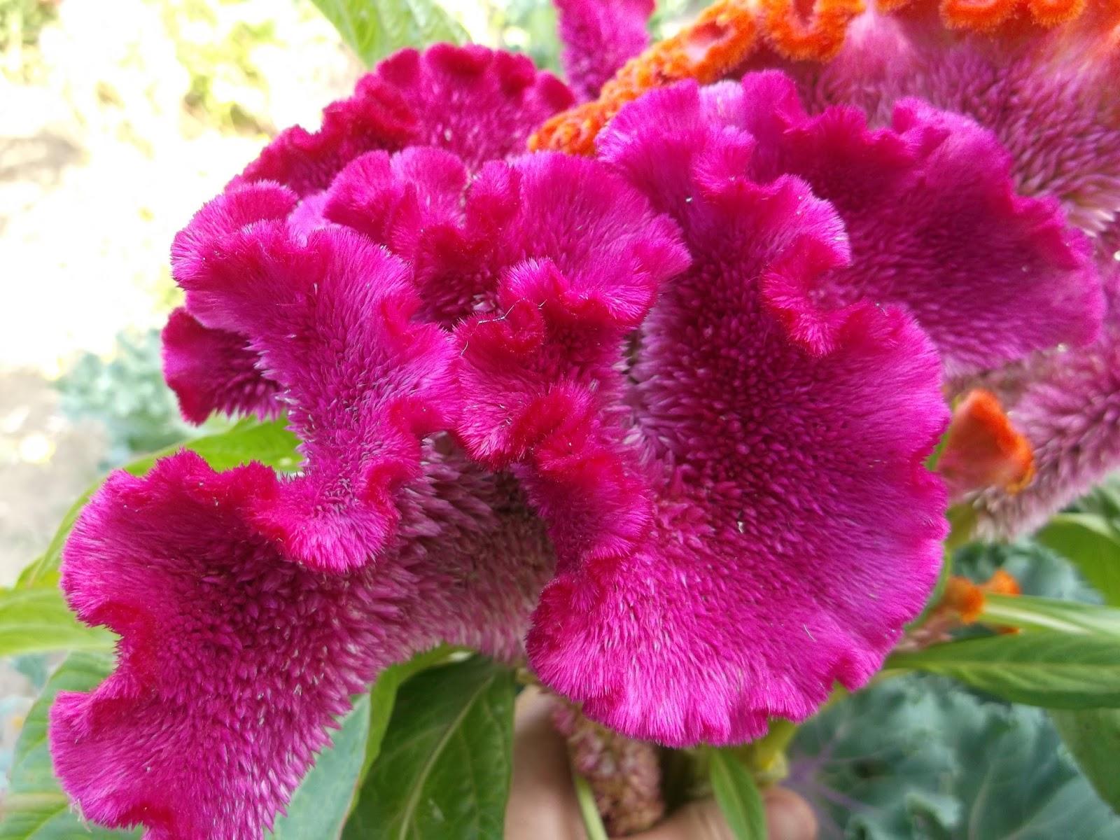 Цветок с гребешком фото