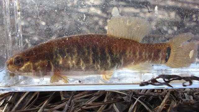 ... Cantrells fish species blog: Central mudminnow and brook stickleback