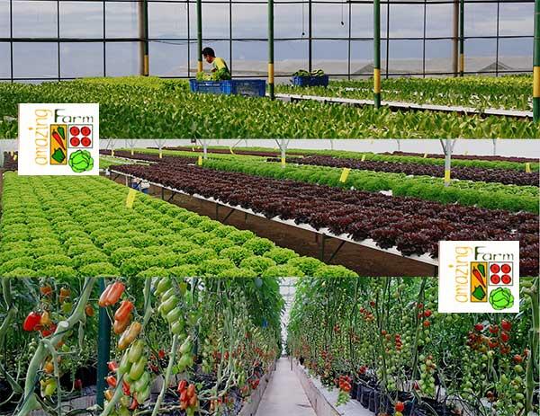 Amazing Farm, produsen jus sayur untuk kesehatan alami hidroponik berkualitas terbaik Indonesia