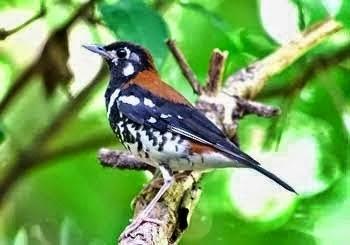 Gambar Cara Merawat Burung Anis Kembang
