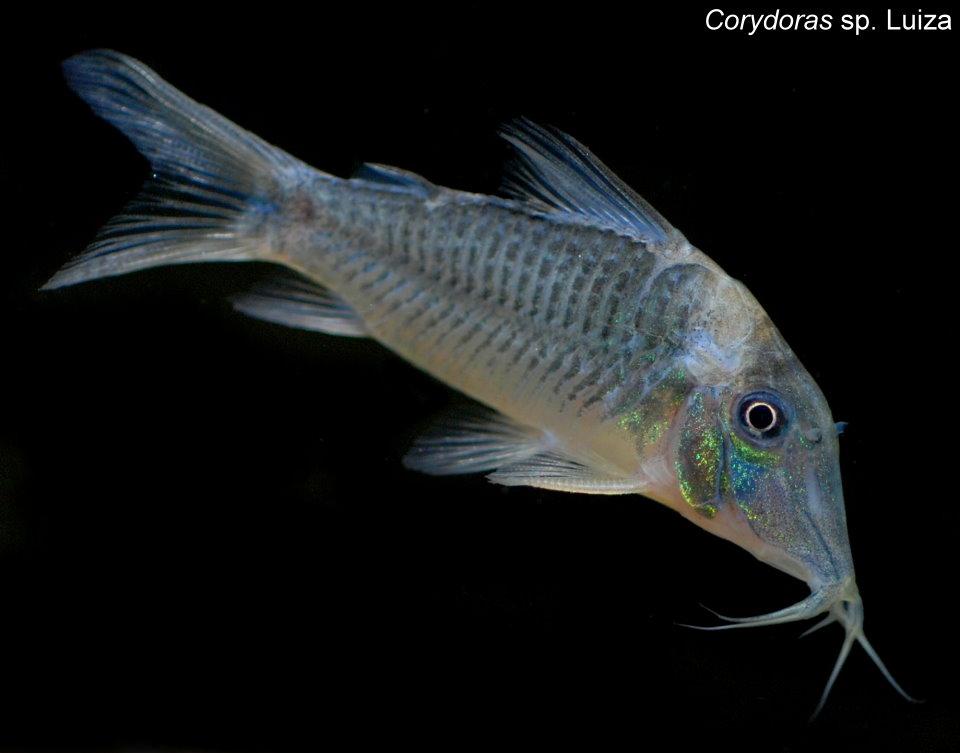 Corydoras sp. cf. evelynae semi-longnose ?????? x 2