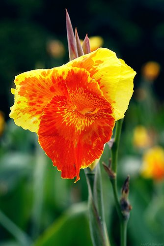 Rumus dan diagram bunga dengan rumus bunga k 3 c 3 a 5 g 3 didapat keterangan bahwa bunga tasbih canna sp adalah bunga banci dalam satu bunga terdapat alat kelamin ccuart Image collections