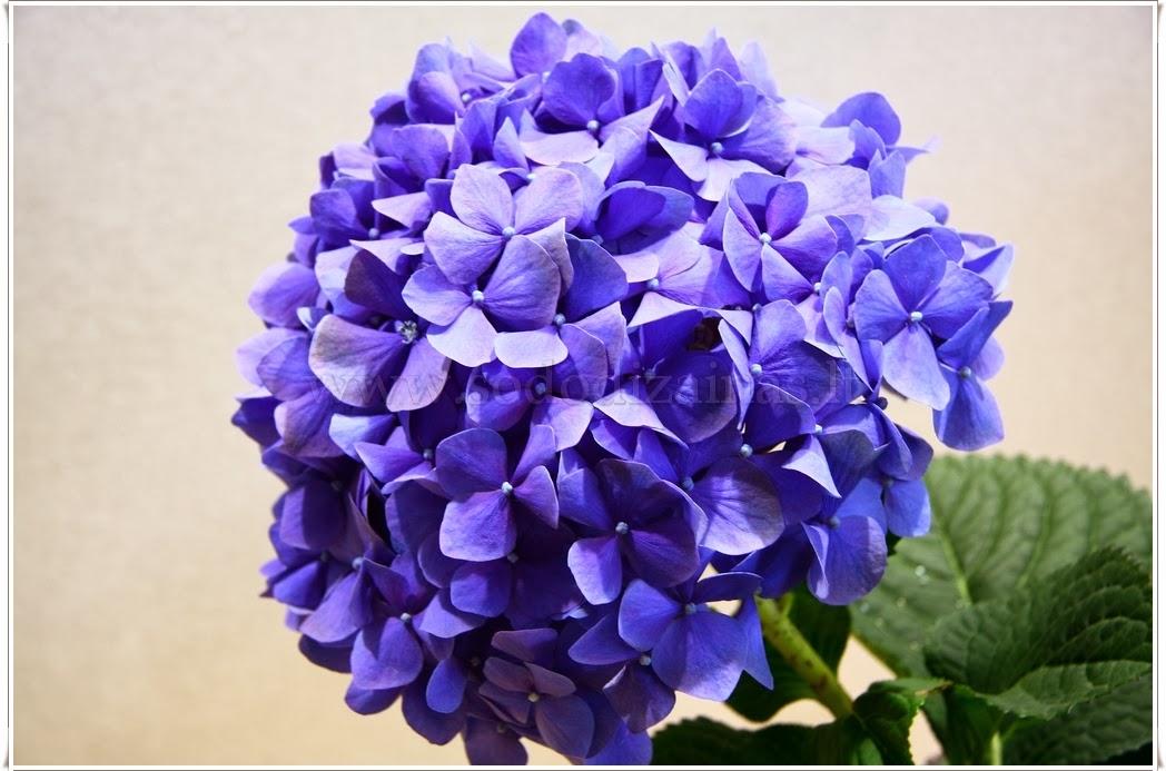 Razmnožavanje hortenzije za početnike  • Recepti za svaku priliku