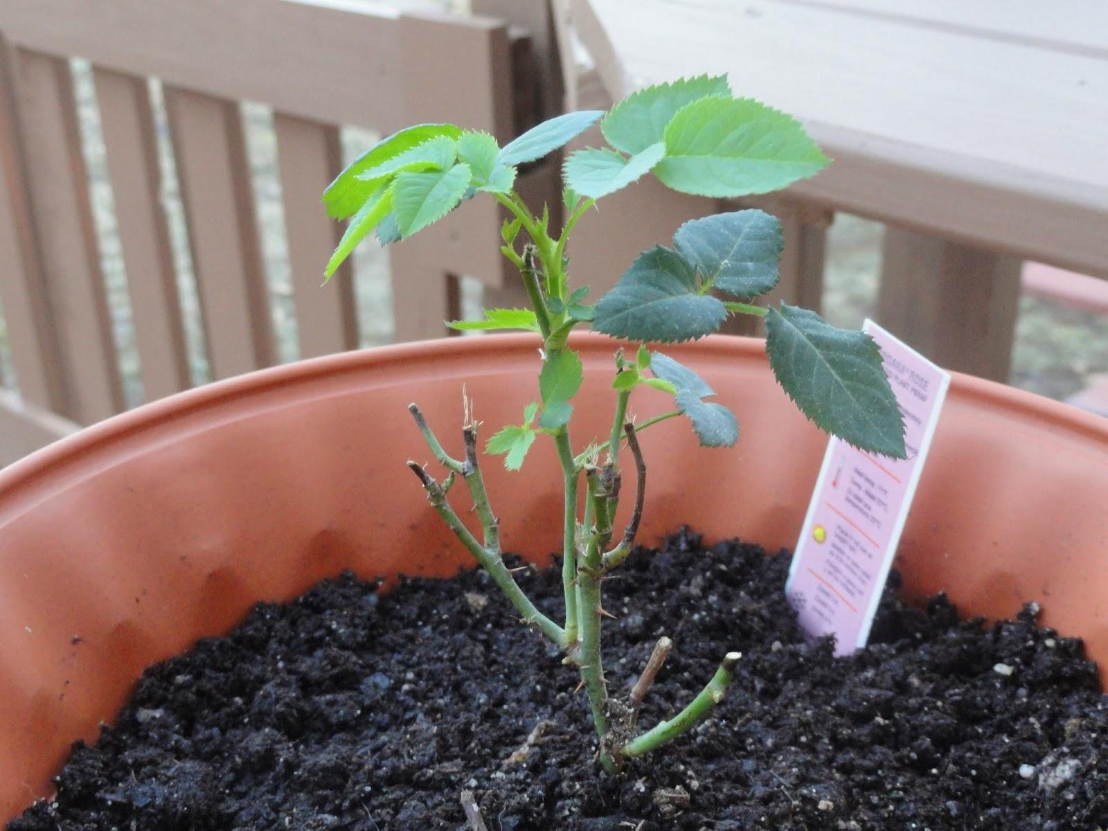 Как вырастить розу из срезанного цветка: советы