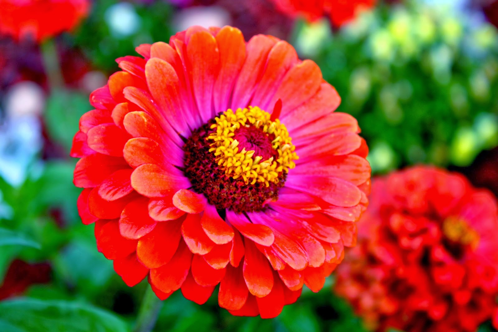 zinnia flower meaning  flower, Natural flower