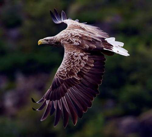 Indian birds - Image of White-tailed sea-eagle - Haliaeetus albicilla