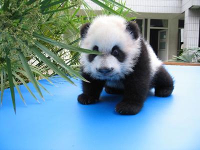 http://1.bp.blogspot.com/-ZtpY9TML_I8/T7rgqLl7uvI/AAAAAAAABlQ/1WalqJeVPaI/s1600/panda_01.jpg