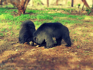 Sloth bears or stickney bears ready to wrestle