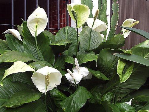 Lord flores s sombra e gua fresca for Plantas en agua interior
