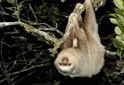 sloth pic