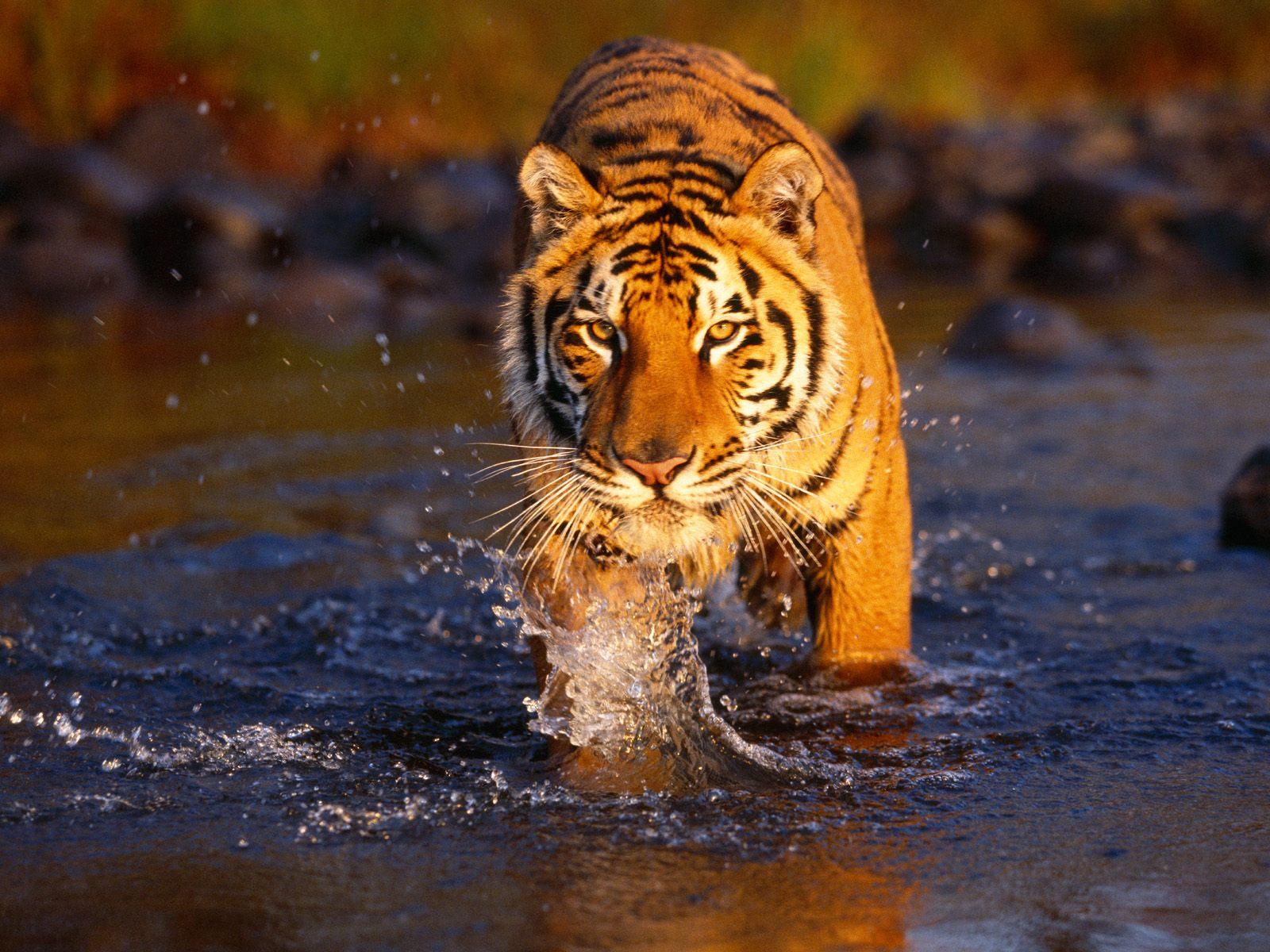 Hintergrundbilder Kostenlos Tiger - Windows 7: Desktop Hintergrundbilder automatisch wechseln
