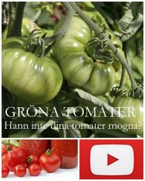 Få dina gröna tomater att mogna