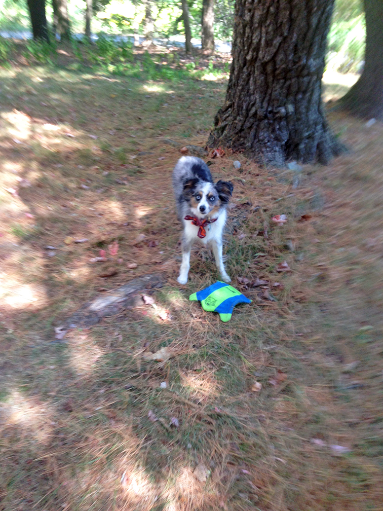 Wally, #Wallyface the mini aussie, miniature australian shepherd playing frisbee, nature, Mohonk Preserve