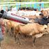 Governo do Estado investe R$ 4 milhões na vacinação contra febre aftosa