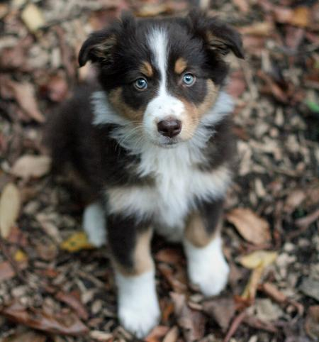 Australian Shepherd Puppies on Australian Shepherd Puppy Pictures   Puppy Pictures And Information