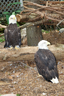 eagles at the zoo