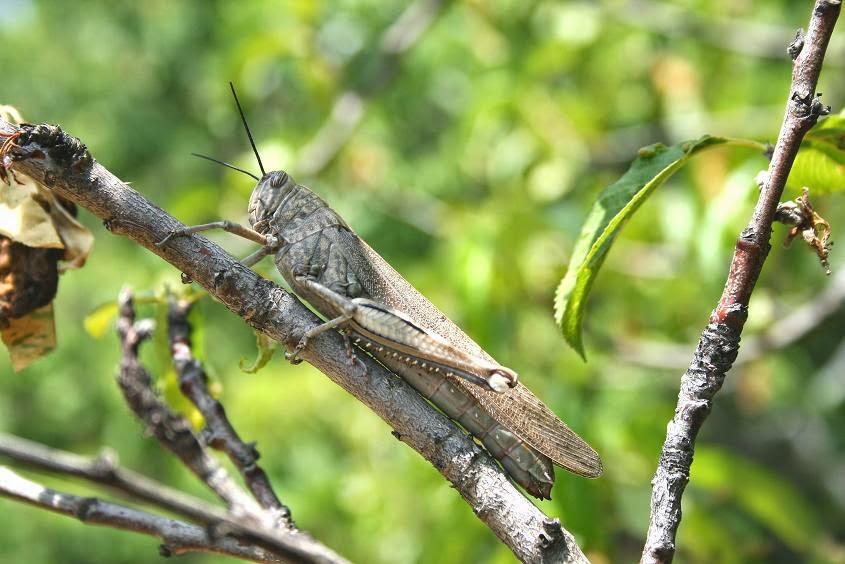 Locusta sp.
