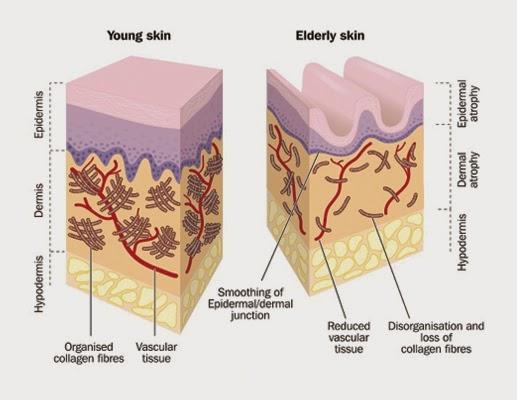 struktur kalogen dalam kulit