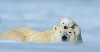 Foto Beruang Kutub Mesra