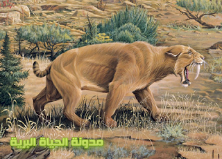 السميلودين - Saber Tooth Tiger