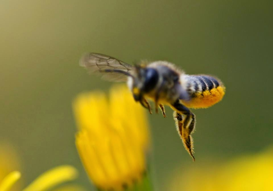 how to make bee substitute pollen