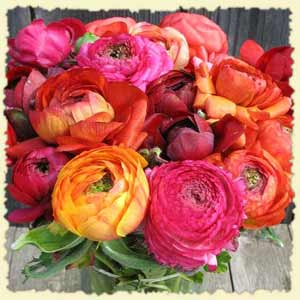 ranunculus 