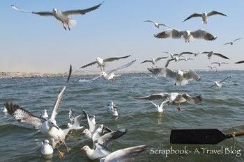 Gulls at Triveni Sangam Prayag Allahabad Uttar Pradesh