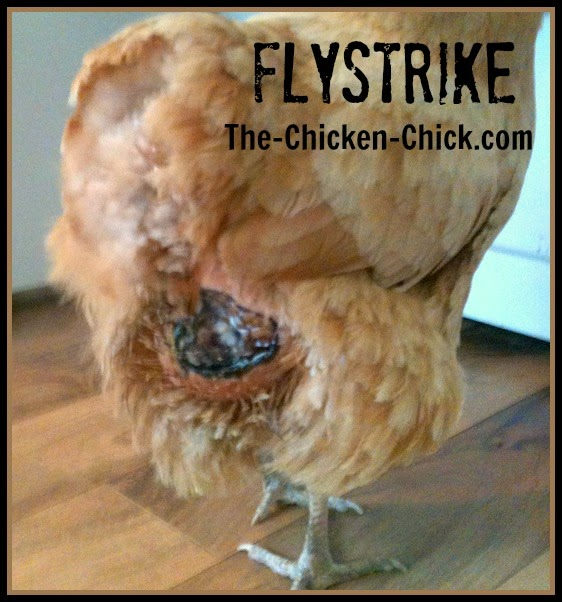 Flystrike In Backyard Chickens Causes Prevention