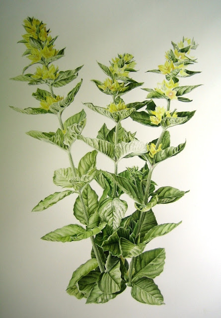 Yellow Loosestrife - Inky Leaves