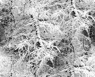 abetos llenos de nieve