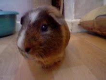 stripe my guinea pig