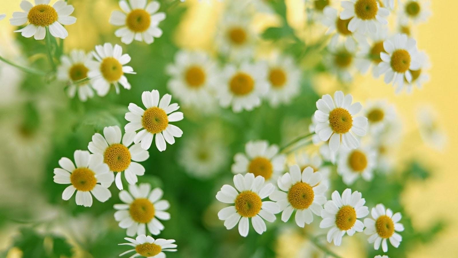 plantas medicinales, propiedades manzanilla