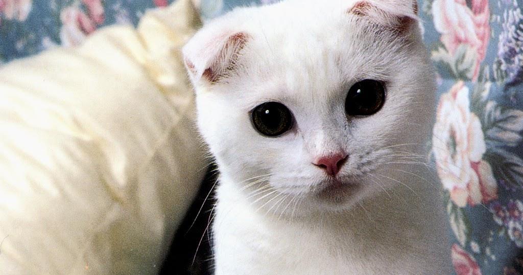 Kucing Scottish Fold Jual Kandang Hamster Kucing Anjing