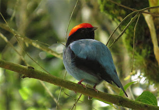 Swallow-tailed Manakin
