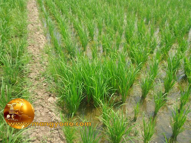 FOTO : Tanaman padi umur 4 minggu ( 1 bulan ).