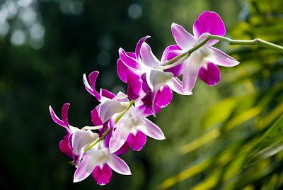 Hoa lan Việt Nam