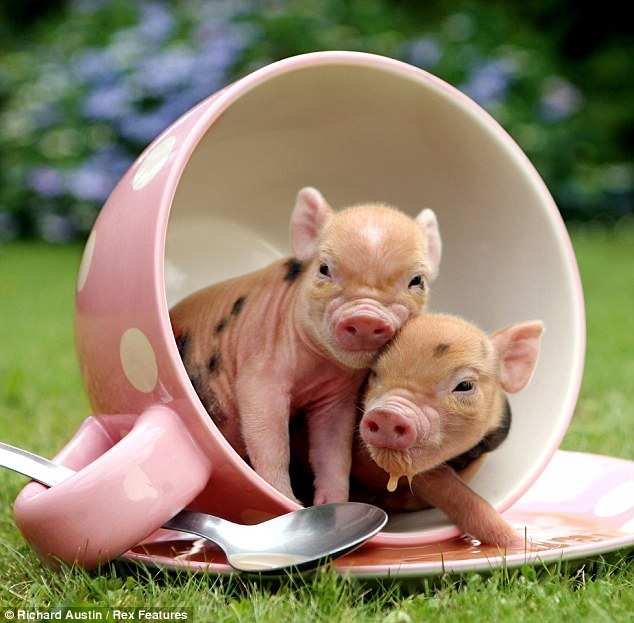 Pocket pig of Pennywell Farm by Richard Austin, cute piglets, pocket pigs, richard austin, cute baby pig