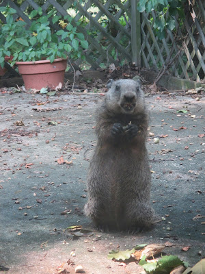 groundhog eating acorn