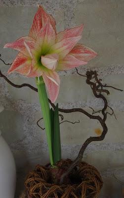 Le jardin des couronnes amaryllis aphrodite for Amaryllis ne fleurit pas